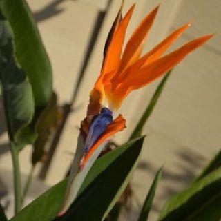 Bird Of Paradise Birds Of Paradise Bird Animals
