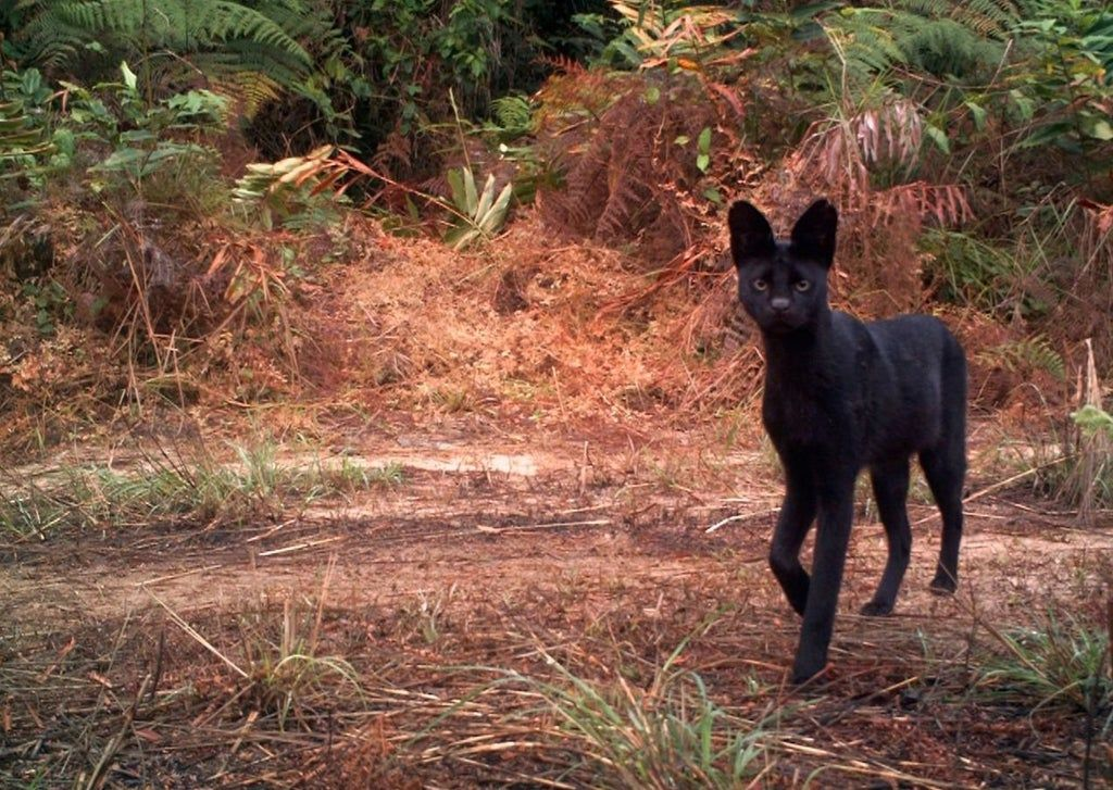 A Gorgeous Incredibly Rare Black Serval Caught On A Trail Cam Natureismetal Animals Serval Wild Cats