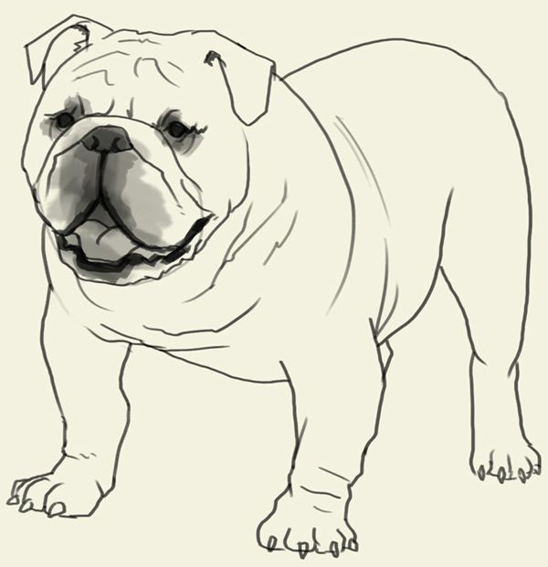 How to draw Bulldog Learn to draw an English Bulldog step by step