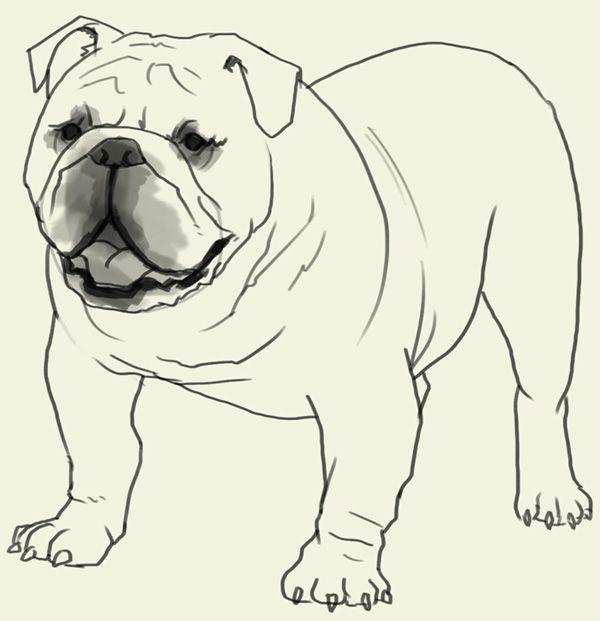 How To Draw Bulldog Bulldog Drawing English Bulldog Art Puppy