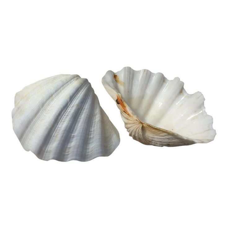 Two Large White Sea Shells Sea Shells Large Sea Shells Shells