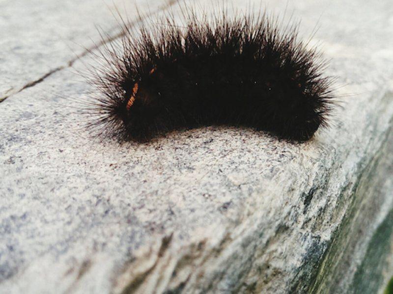 Black Fuzzy Caterpillar Black Fuzzy Caterpillar Fuzzy Caterpillar Fuzzy