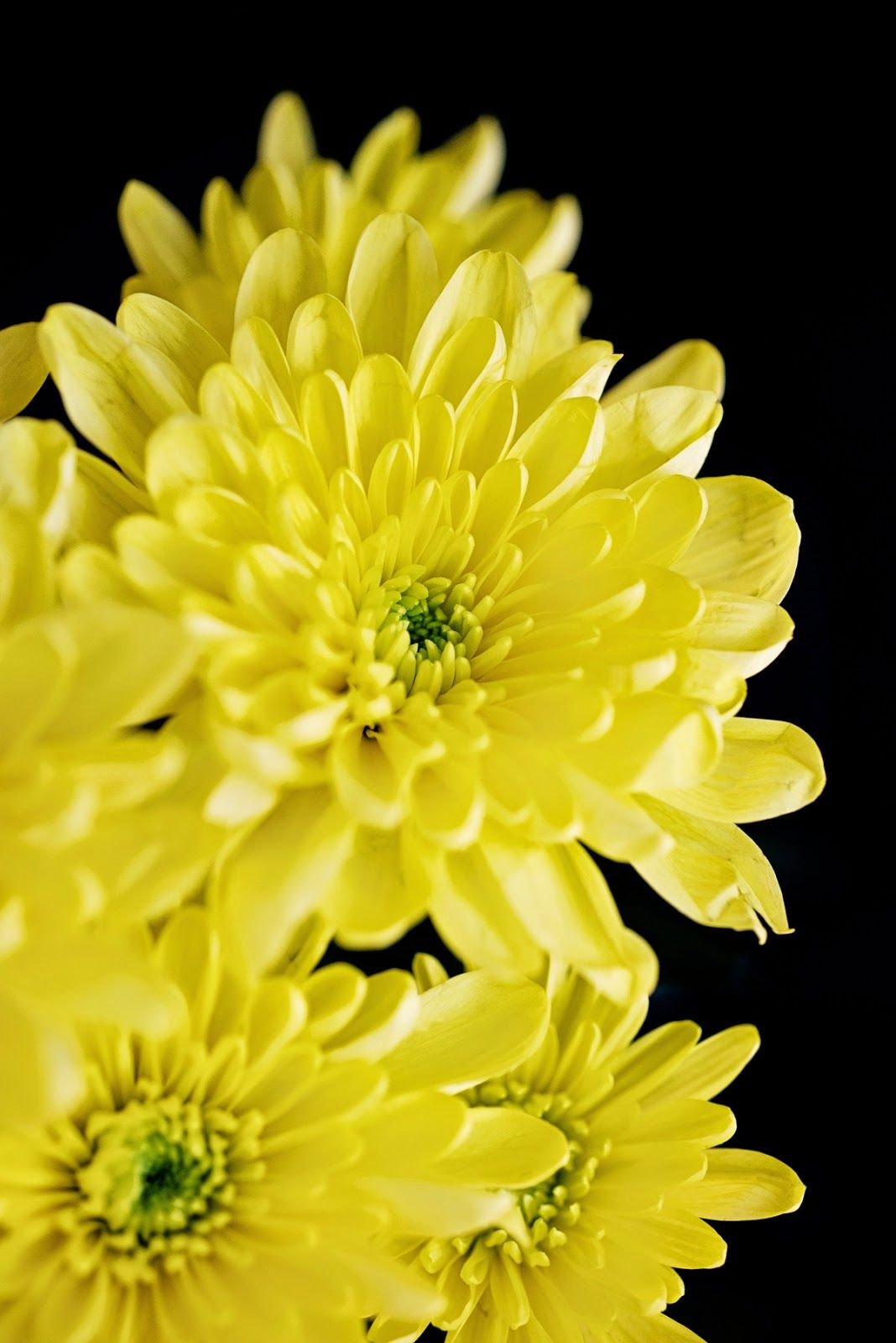 Yellow Chrysanthemum Birth flowers, Chrysanthemum