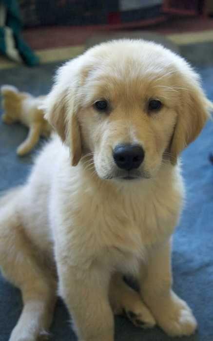 Hi Sweetie Golden Retriever Puppies Dogs Golden Retriever