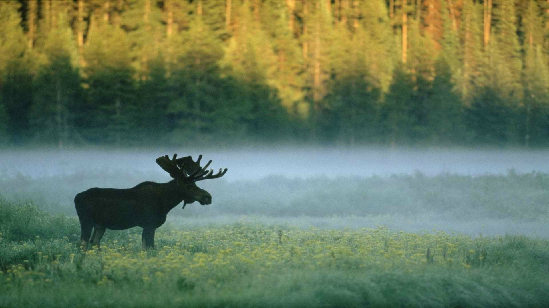 Download Hd Wallpapers Of 196570 Forest Moose Nature Animals Free Download High Quality And Widescreen Resolutions In 2021 Moose Pictures Animal Wallpaper Animals