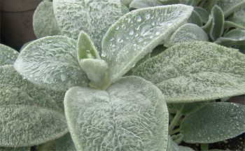 Sustainable Toilet Paper Lambs Ear Plant Xeriscape Landscaping Plants