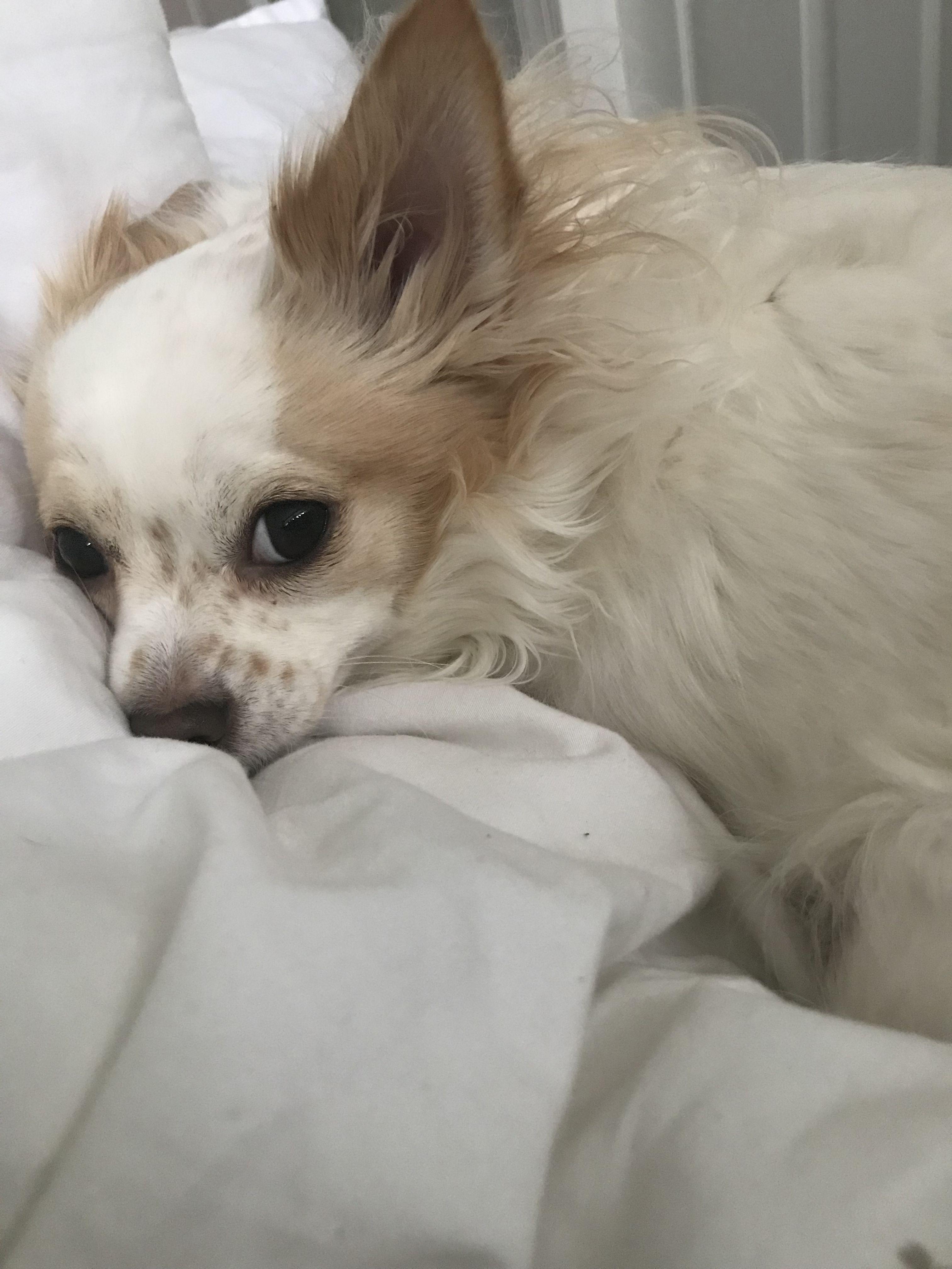 Chihuahua Haircut Long Haired Chihuahua Hairstyles