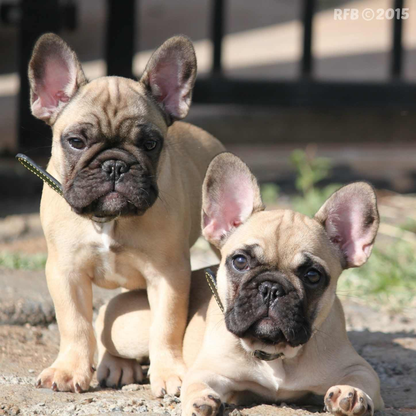 French Bulldog Dogs And Puppies French Bulldog Dog French