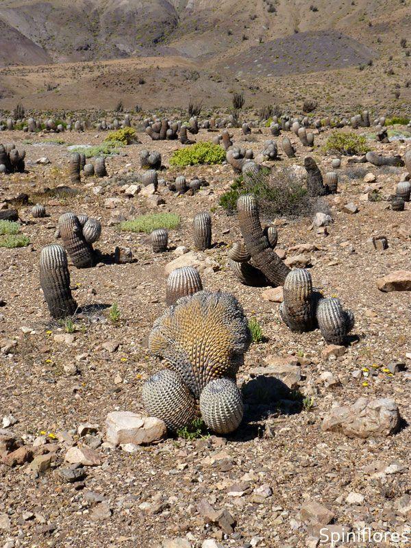for Semillas de cactus chile