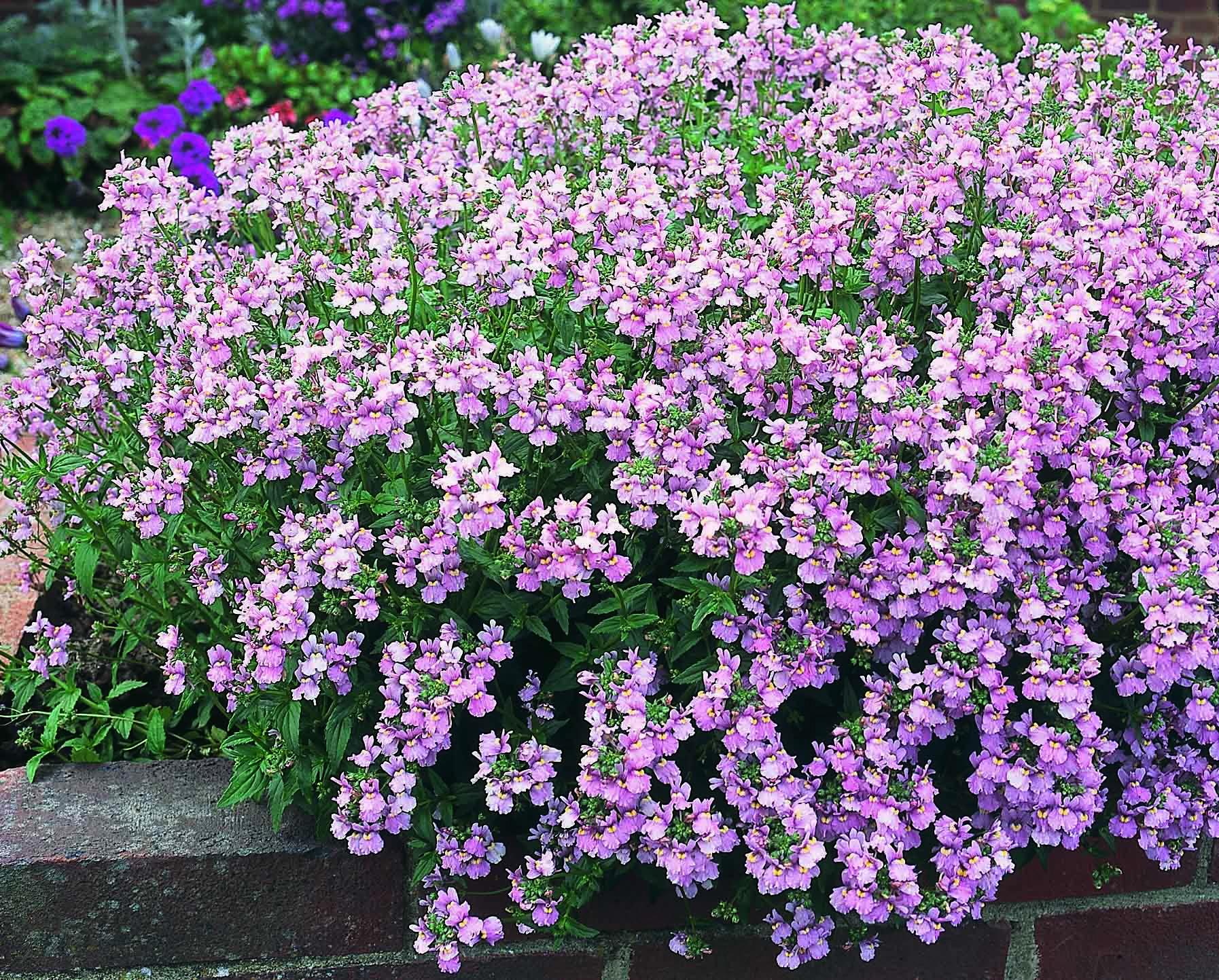 Nemesia - full sun/partial shade   Plants, Perennials, Garden