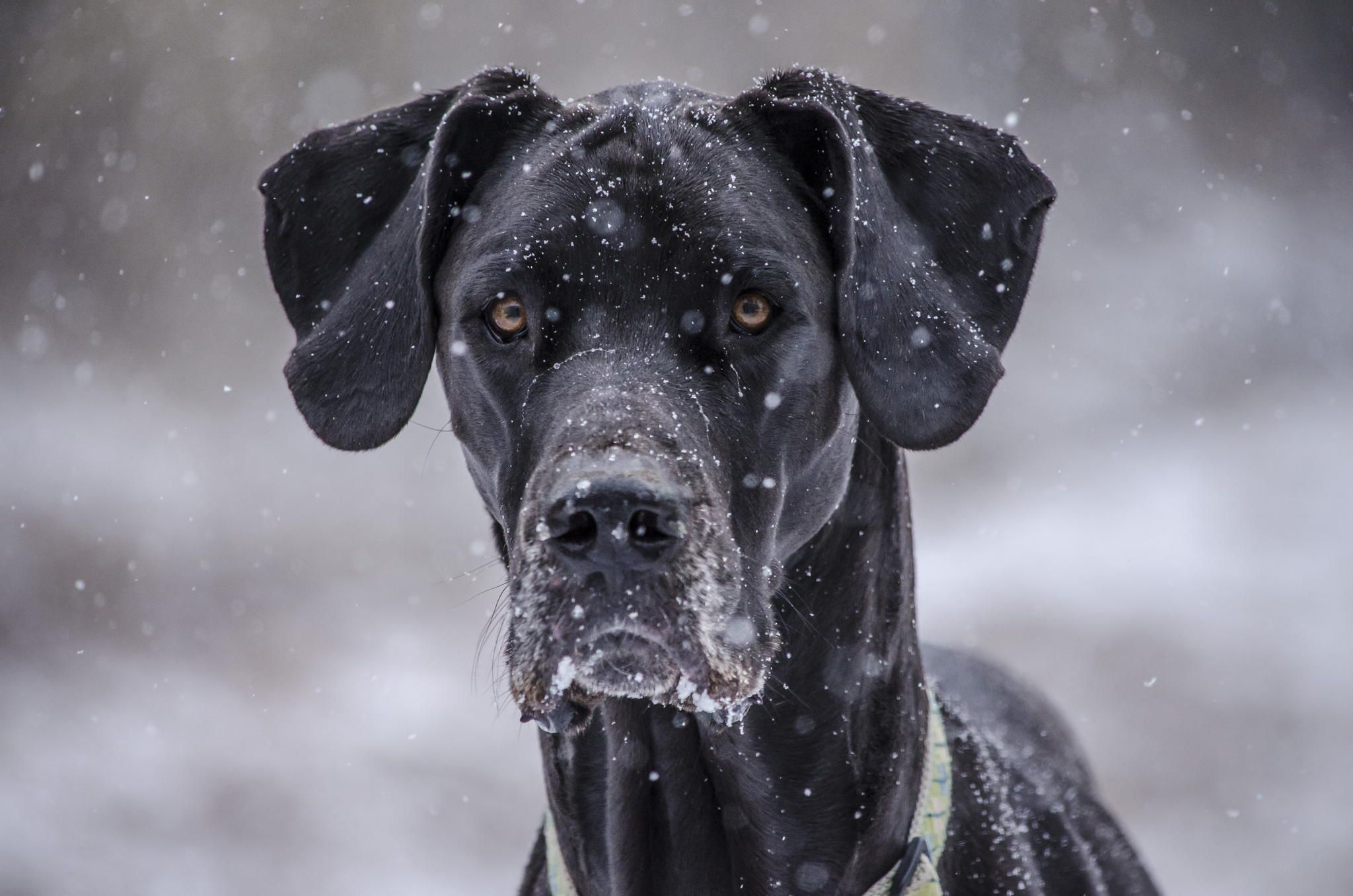 Bella In The Snow Photograph By Weston Lazear Dogs Dog