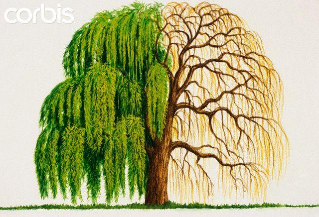 Weeping Willow Clip Art Ideas For Tattoos Pinterest