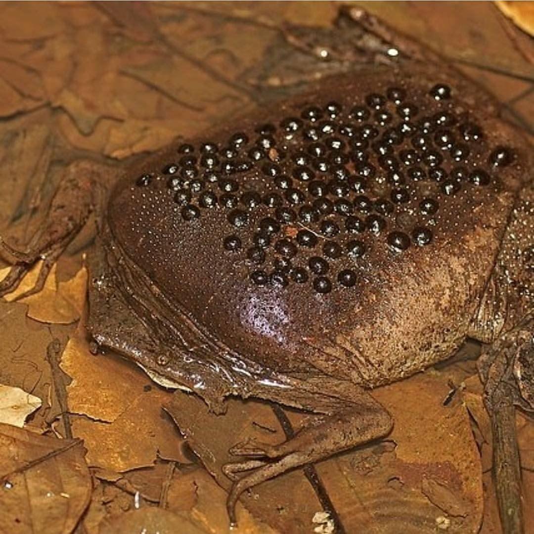Este es el aspecto aplanado del sapo de Surinam (Pipa pipa), que