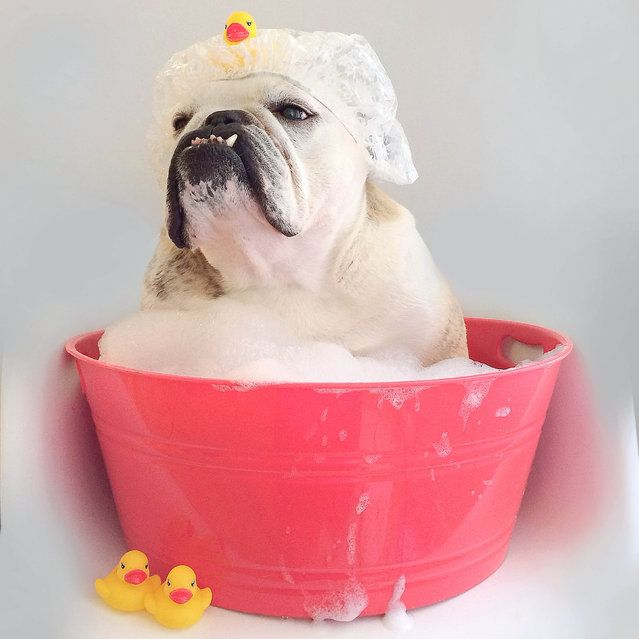 Taking A Bath Bulldog Bulldog Puppies Bulldog Breeds