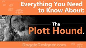 Plott Hound Breed Info: Pictures, Characteristics & Facts #plotthound