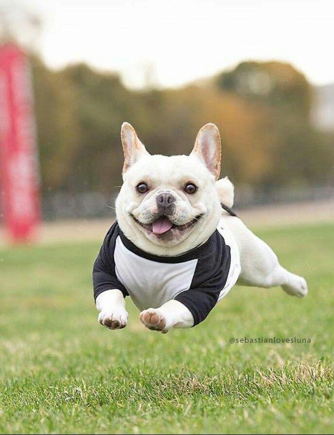 Running all the way ! French bulldog   French bulldog