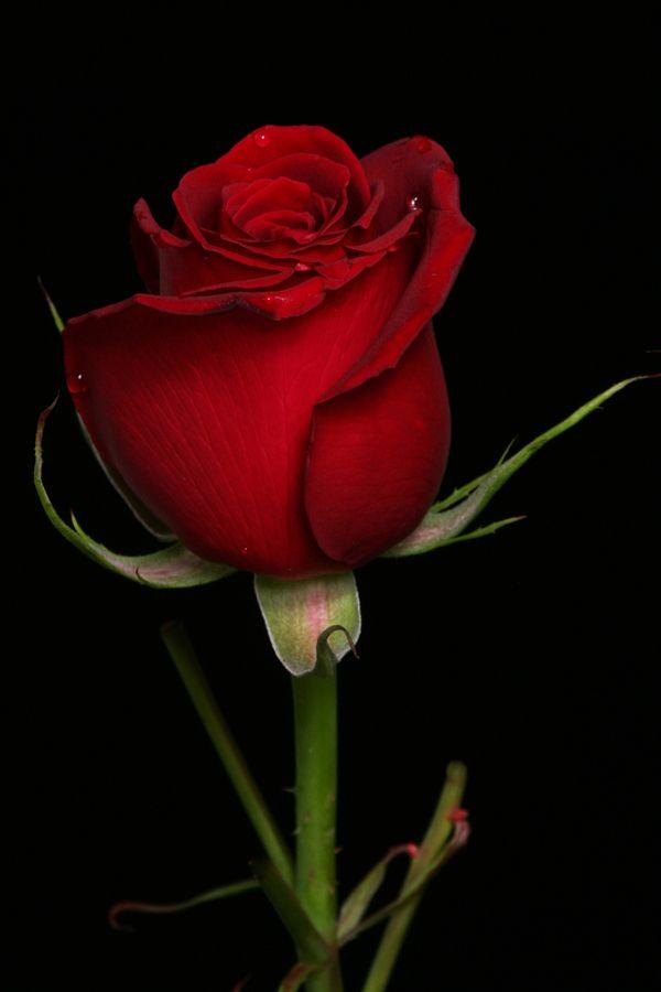 Rose In Heart Tone Beautiful Rose Flowers Beautiful Red Roses Rose Buds