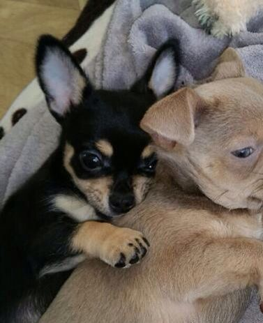 Black And Tan Chihuahua Puppy And A Lilac Chihuahua X Baby
