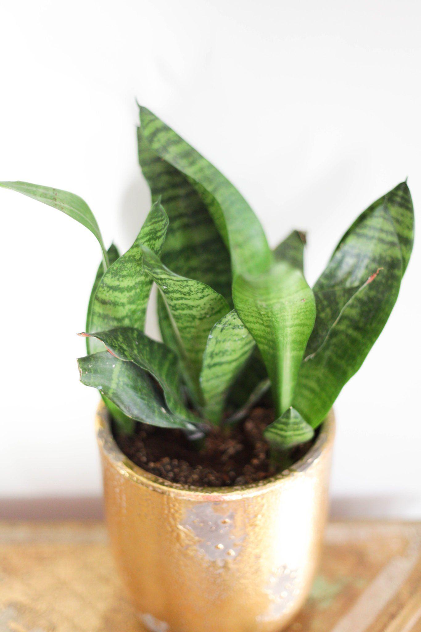 Snake Plant Care Tips + Tricks in 2020 Plant care
