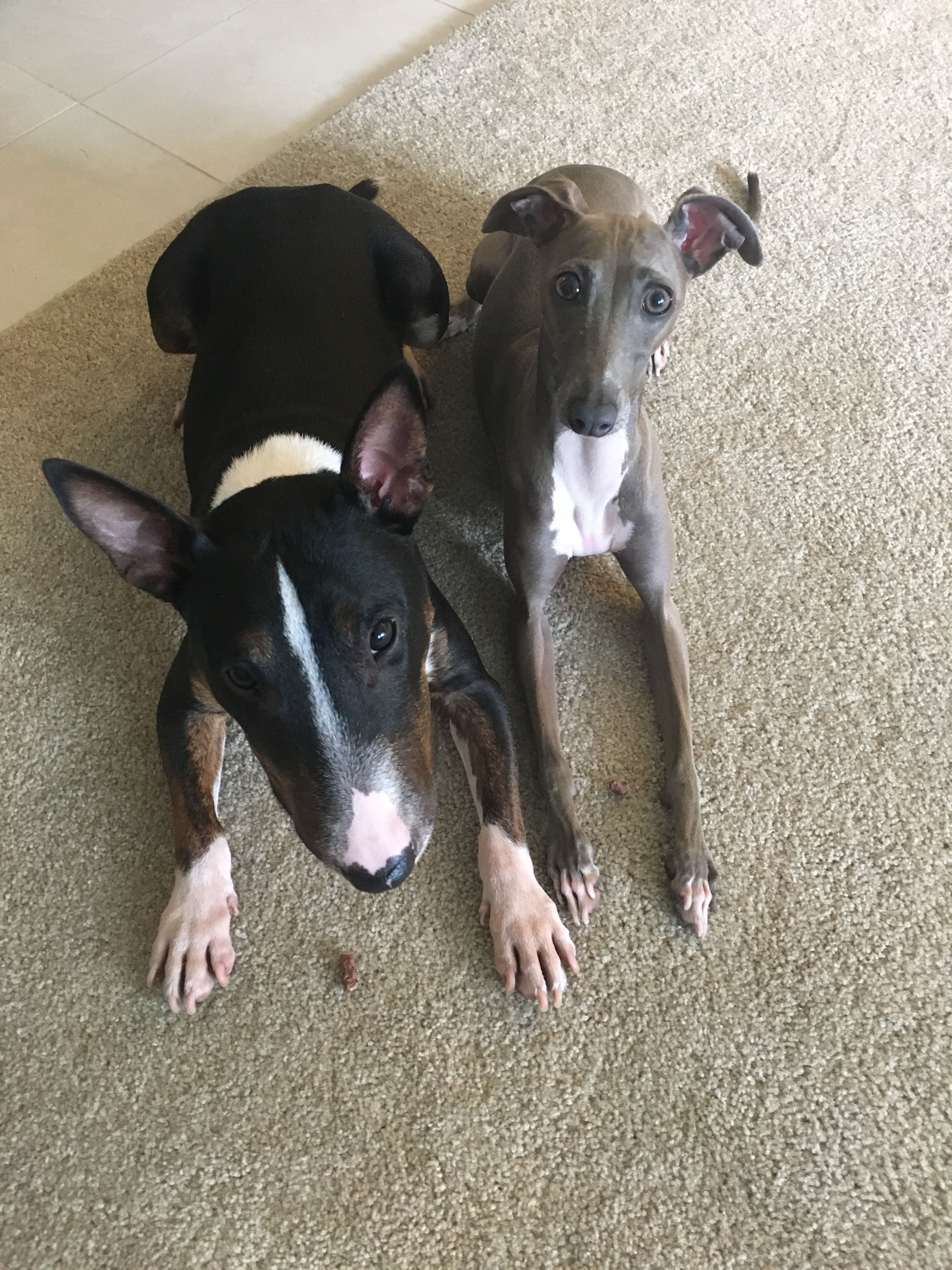 Italian Greyhound And Mini Bull Terrier Mini Bull Terriers Italian Greyhound Terrier