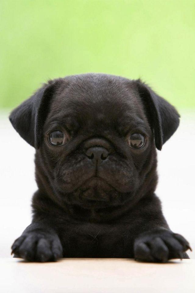 Free Black Pug Puppy Wallpaper Resolution 1920 X Tags