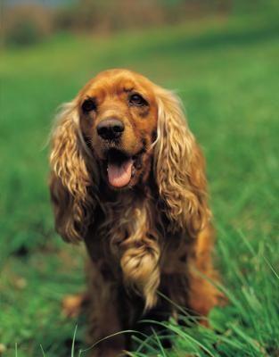 Cómo tratar la infección de levadura de pata en perros