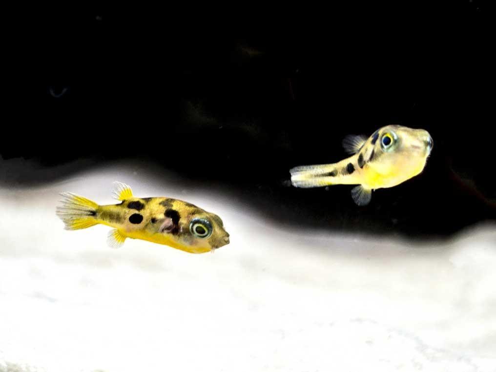 Indian Dwarf Pea Puffer Carinotetraodon Travancoricus Tank Bred Dwarf Puffer Fish Fish Freshwater Fish