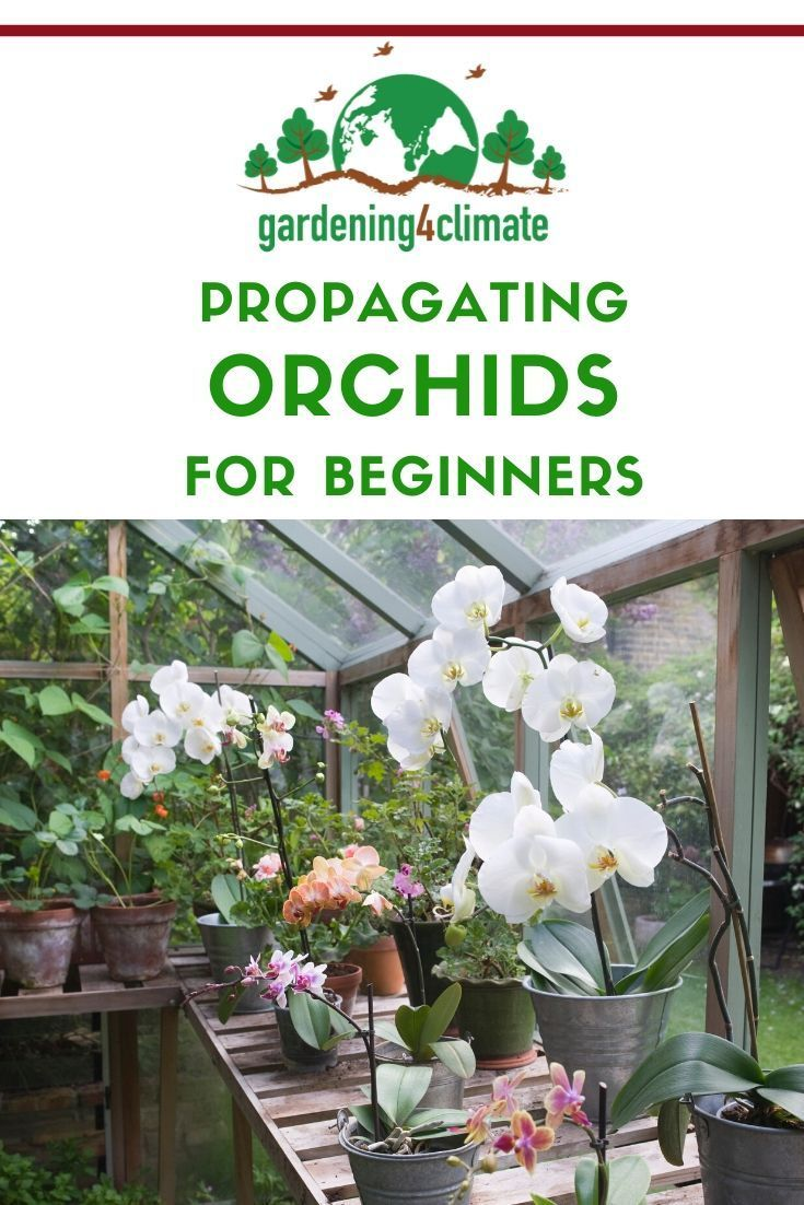 Orchid Propagation And Raising Orchids is part of Orchid propagation, Types of orchids, Orchids, Fragrant flowers garden, Orchid care, Propagation - Simple Orchid Propagation tips by dividing your plants! Learn some easy methods for propagating orchids