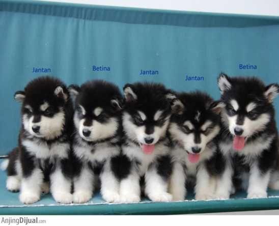 Anakan Alaskan Malamute Di Bandung Malamut Alaska Alaskan Malamute Puppies Anak Anjing