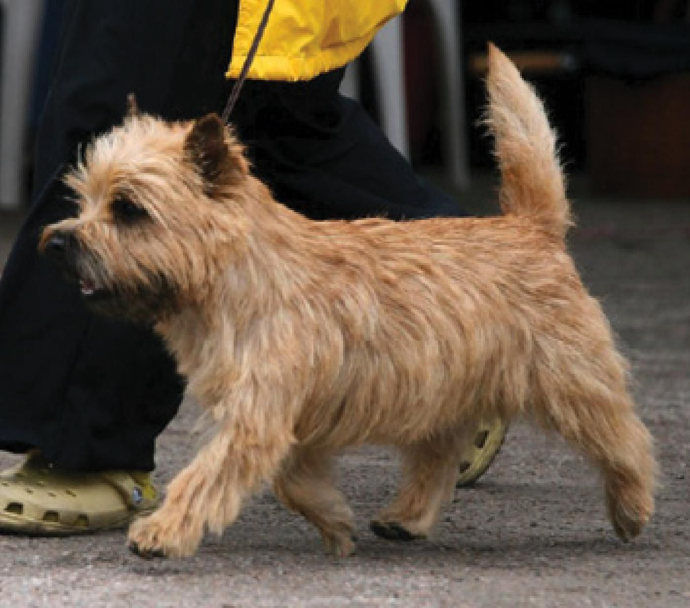 The Cairn Terrier A Synopsis Of The Illustrated Guide Of The Cairn Terrier Showsight Magazine Home Of Pureb Cairn Terrier Purebred Dogs Terrier Dog Breeds