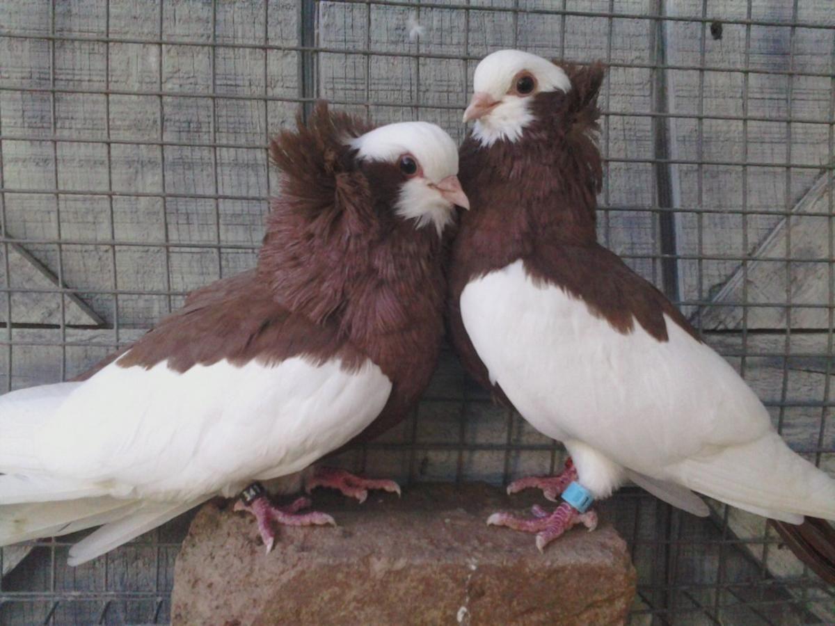Komorner Magpie Tumblers For Sale Tumbler Pigeons Pigeon Magpie