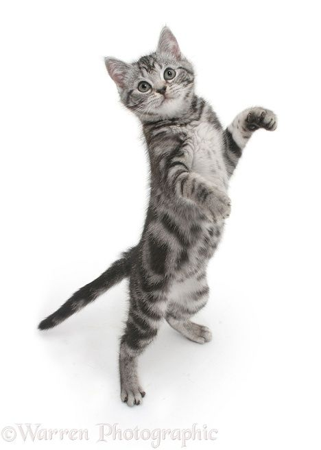 Silver Tabby Kitten Standing And Reaching Up Cat Pose Cat Stands
