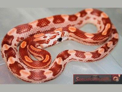 Hypo Motley Corn Snake Ians Vivarium Reptile Forum Corn Snake Pet Snake Snake