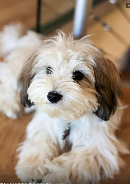 Top 5 Best Dog Breeds For Small Apartment Havanese Puppies Best