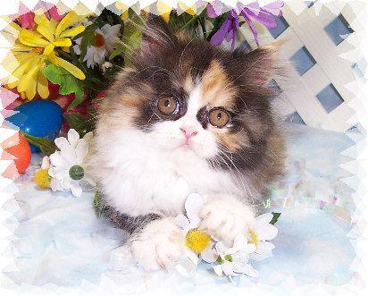 Persian calico.  So Cute!!!!!!