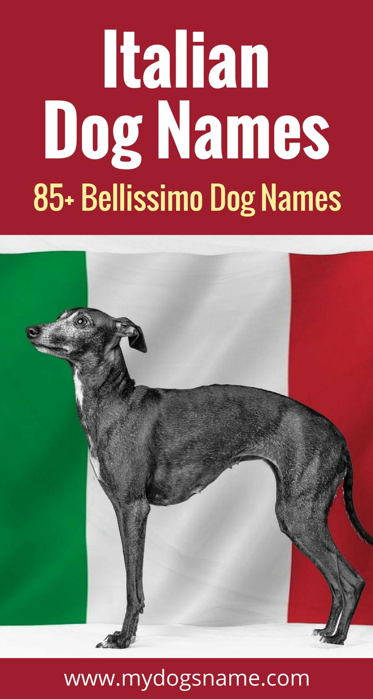 85 Italian Dog Names That Are Bellissimo My Dog S Name Italian Dogs Dog Names Greyhound Dog Rescue
