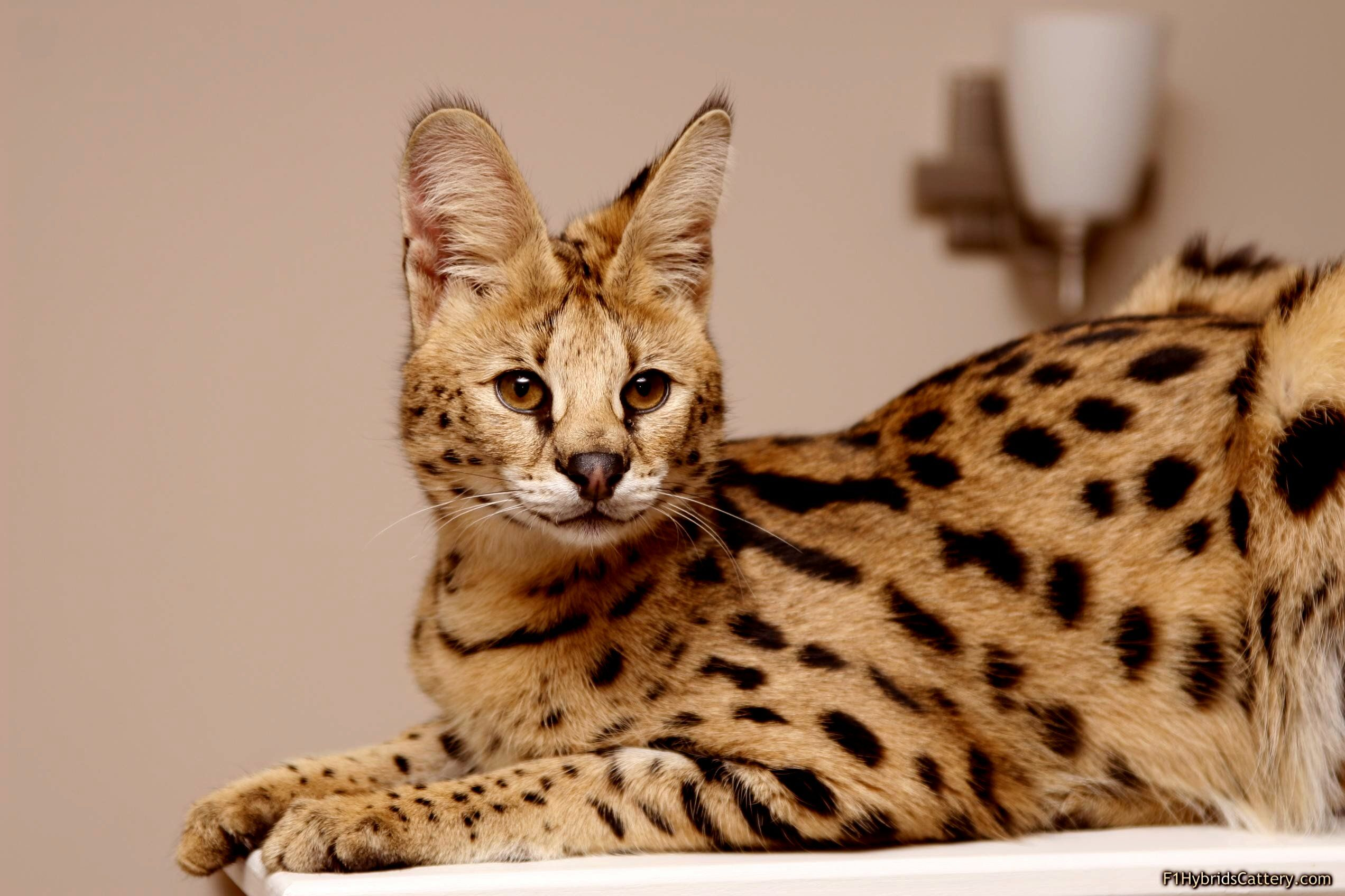 Gorgeous Wild Serval Cat Wallpapers Hd Free 222393 African Serval Cat Serval Cats Large Domestic Cat Breeds