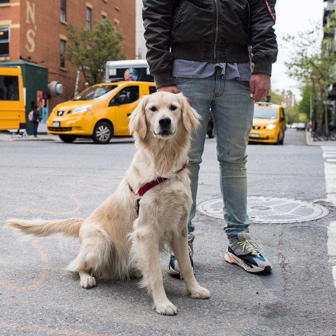 Niner Golden Retriever 1 Y O 17th 10th Ave New York Ny