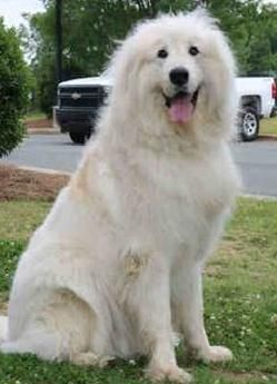 Kane Is A Male Dog Great Pyrenees Located At Pyrenees Rescue Of