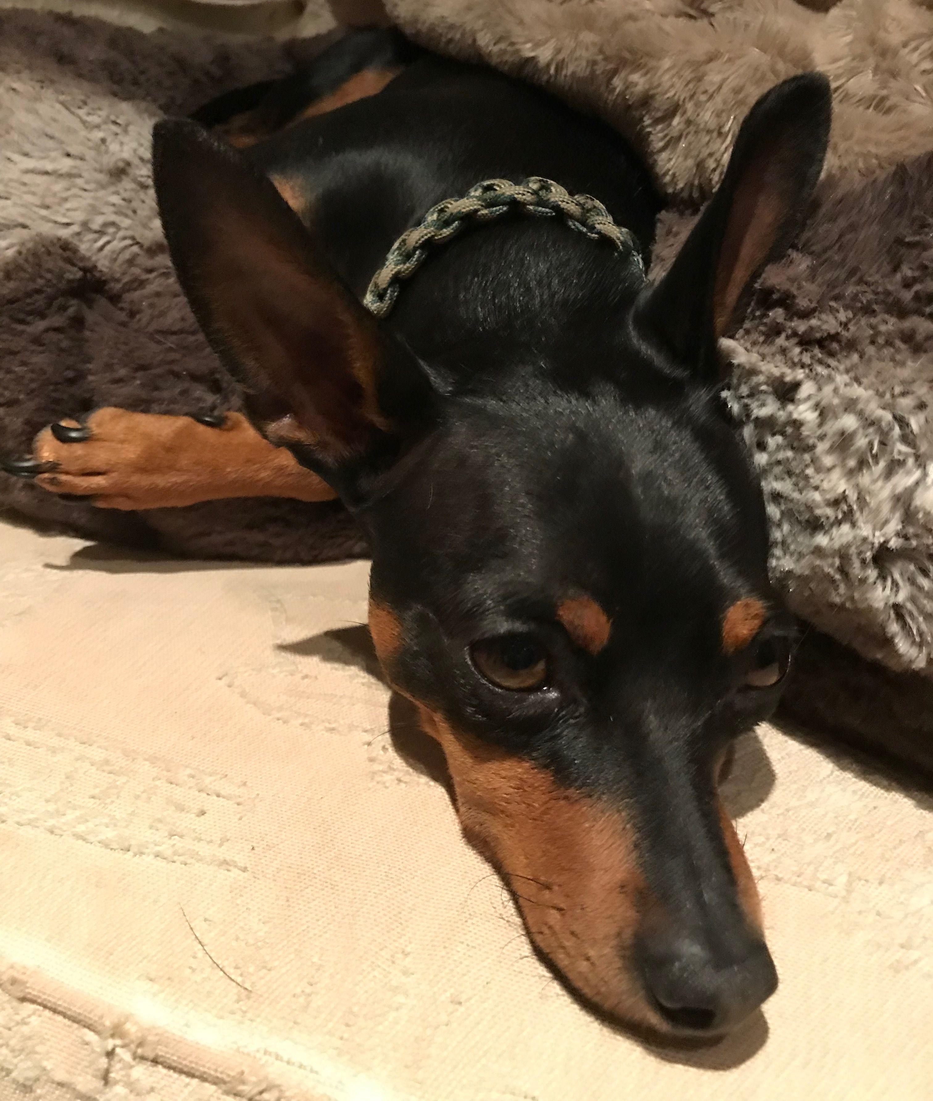 Morning chill... Doberman pinscher, English toy terrier