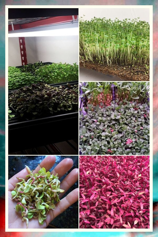 Indoor Microgreens, Grow Greens Without A Garden