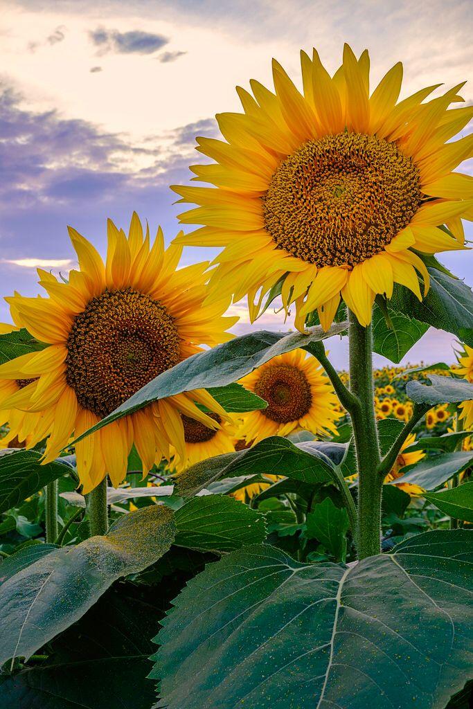 _LCH6814 kansas sunflowers