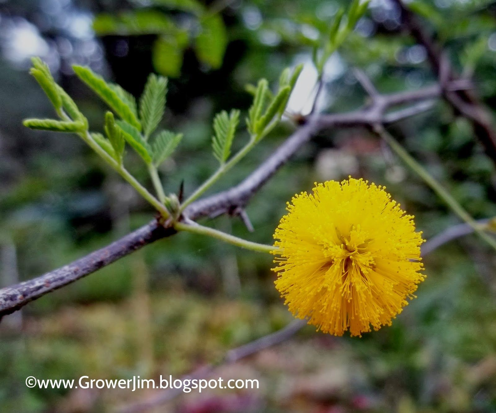 Sweet Acacia Acacia Farnesiana Flower Sustainable Landscaping Greek Flowers Flowers