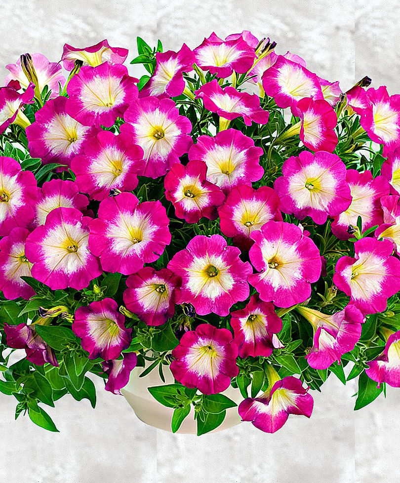 Fiori Campanelle Da Balcone fiori da balcone estivi con acquista petunie pendenti