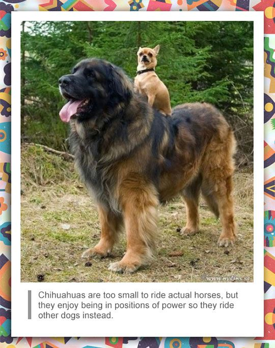 Chihuahua Facts Funny Animal Pictures Funny Animal Memes