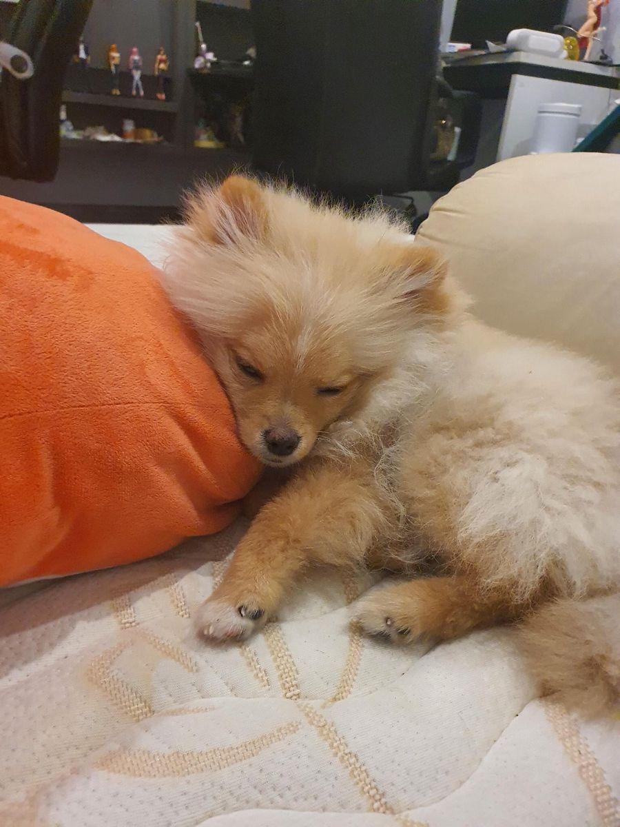 ป กพ นในบอร ด Pomeranian