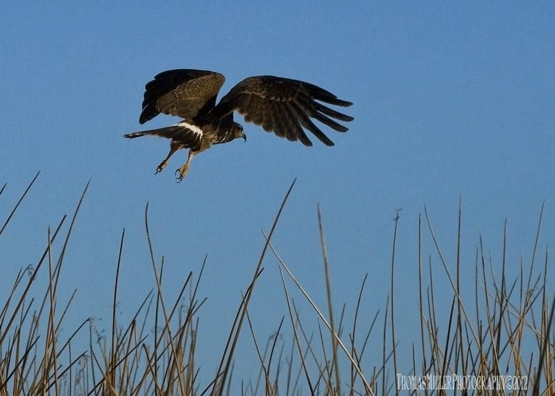 Endangered Florida Snail Kite, (a.k.a. Everglades Kite), East Lake Toho., St. CLoud