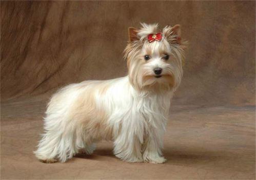 Golddust Yorkshire Terrier Yorkie Terrier Yorkshire Terrier Yorkshire Terrier Puppies