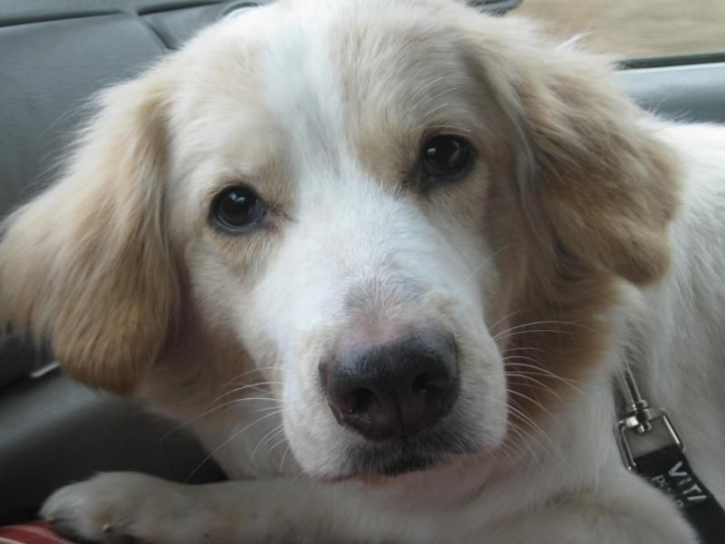 Meet Cody a Petfinder adoptable Golden Retriever Dog | Creston, OH | Meet Cody!   Cody's owner died and Cody is really sad about that. He does have so much love to give...