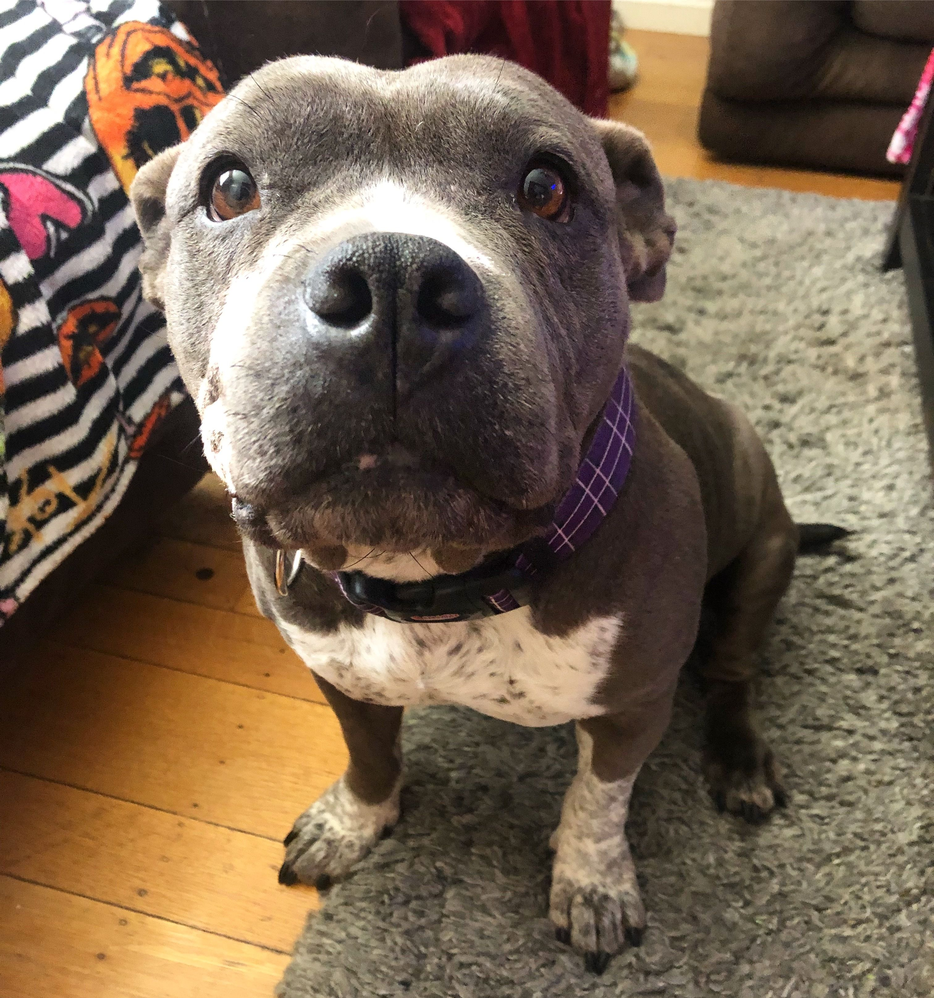 Adopt Karma On Petfinder Pitbull Terrier Rescue Dogs Best Dogs